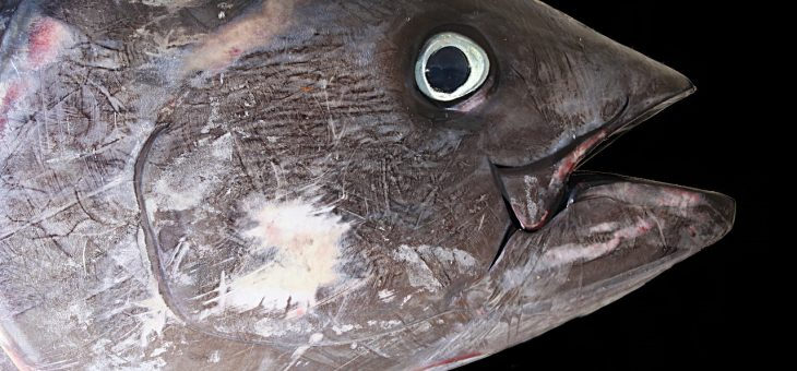 Marina di Ravenna sarà la capitale italiana della pesca d'altura al tonno rosso per tre giorni